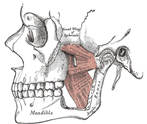 muscles-in-the-jaw